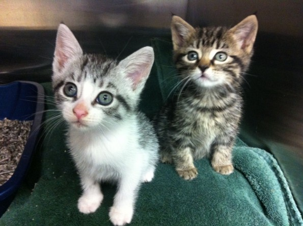 grey and white and tabby kittens